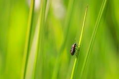 也已知的一红色盾臭虫昆虫Eurydema oleracea的特写镜头 图库摄影