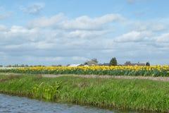 也已知的白色和黄色黄水仙的开花的花田 免版税图库摄影