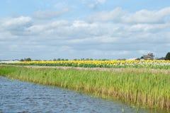 也已知的白色和黄色黄水仙的开花的花田 库存照片