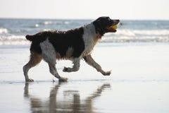 也是海滩狗 免版税库存照片