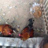 也是鸡和雄鸡动物 库存照片