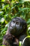 也注意殷勤地接近的距离分散的大猩猩向上有她查找山纵向短小某事非常 大猩猩接近的画象 库存照片