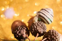 也螺旋pomatia罗马蜗牛,伯根地蜗牛,自呼吸蜗牛,一个地球有肺腹足动物的软体动物 免版税库存图片