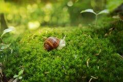 也螺旋pomatia罗马蜗牛,伯根地蜗牛,食用蜗牛或 库存照片