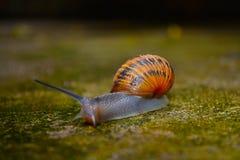 也螺旋pomatia罗马蜗牛,伯根地蜗牛,食用蜗牛或escargot,是大,可食,自呼吸蜗牛的种类 图库摄影