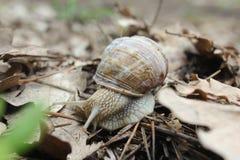 也螺旋pomatia罗马蜗牛,伯根地蜗牛,食用蜗牛或escargot,是大,可食,自呼吸蜗牛的种类 库存图片