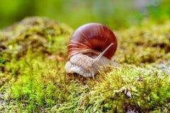 也螺旋pomatia罗马蜗牛,伯根地蜗牛 免版税库存图片