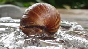 也螺旋pomatia罗马蜗牛 股票录像