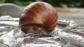 也螺旋pomatia罗马蜗牛 股票视频