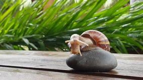 也螺旋pomatia罗马蜗牛 影视素材