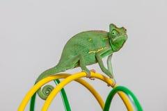 也门变色蜥蜴 库存图片
