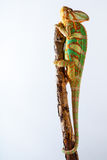也门变色蜥蜴 库存照片