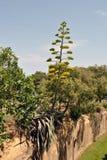 也龙舌兰作为蓝色世纪花已知的工厂天空多汁植物 库存照片