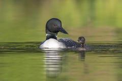 练习它的游泳技能的星期的共同的懒人小鸡作为我 免版税库存照片
