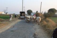 乡下公路看法在旁遮普邦,母牛和人们一起是 库存图片