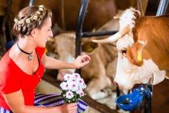 乡下妇女感人的母牛 库存图片