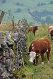 乡下威胁吃草英国范围的草 免版税图库摄影