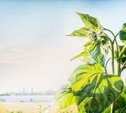 乡下室外自然背景用在天空背景的绿色向日葵 免版税库存照片