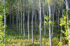 乡下帕尔瓦(意大利) :白杨树 免版税库存照片