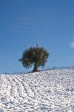 乡下查出橄榄树 库存图片