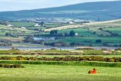 乡下母牛威尔士威尔士 免版税库存照片