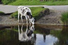 乡下母牛饮用的河视图 库存照片