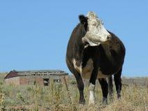 乡下母牛 库存照片