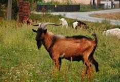 乡下的山羊座 库存照片