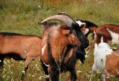 乡下的山羊座 免版税库存图片