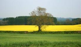 乡下结构树 图库摄影
