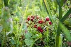 乡下莓果 免版税库存照片