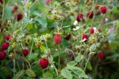 乡下莓果 免版税库存图片