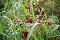 乡下莓果 库存图片