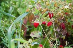 乡下莓果 图库摄影