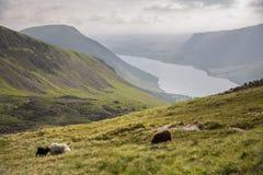 乡下cumbria地区英国湖吃草绵羊春天英国 库存照片