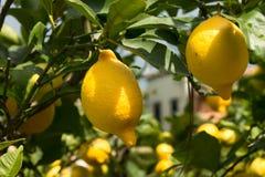 书植物的柠檬再生产结构树葡萄酒 免版税库存照片