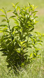 书植物的柠檬再生产结构树葡萄酒 免版税库存图片