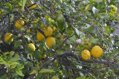 书植物的柠檬再生产结构树葡萄酒 图库摄影