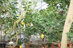 书植物的柠檬再生产结构树葡萄酒 库存照片