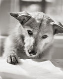 书狗读取 图库摄影