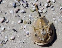 乱丢Sanibel海壳的海滩鲎和贝壳 免版税库存照片