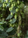 乱跳,丛林 在狂放的飞行高大的树木的蛇麻草 库存照片