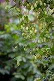 乱跳,丛林 在狂放的飞行高大的树木的蛇麻草 免版税库存照片