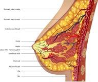 乳房的解剖学。 向量 免版税库存照片
