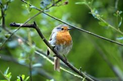 乳房纵向红色知更鸟 免版税库存照片