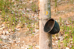 乳汁橡胶开发的结构树 普吉岛泰国 库存照片