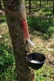 乳汁橡胶开发的结构树 图库摄影