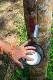 乳汁橡胶开发的结构树 免版税库存照片
