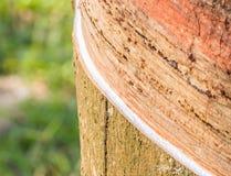 乳汁橡胶开发的结构树 免版税库存图片
