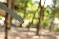 乳汁橡胶开发的结构树 免版税图库摄影